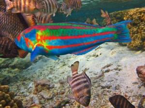 pesce-pappagallo-snorkeling tikehau